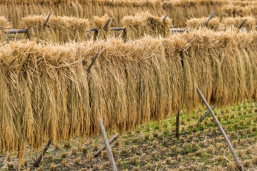 昔ながらの稲の乾燥中